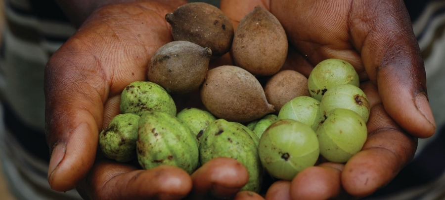 Triphala: Your best support to stay healthy this festive season.